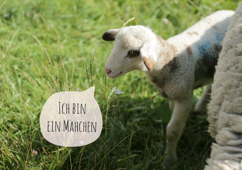 Schafe Englischer Garten